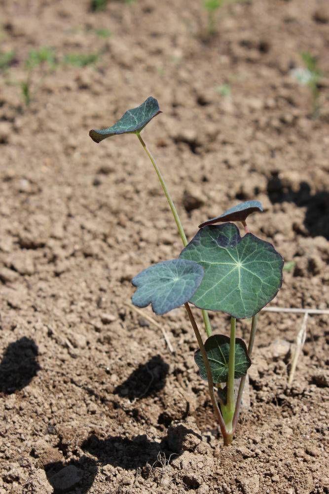 509 best images about jardin on pinterest gardens plant markers and planters - Semis de carottes en pleine terre ...