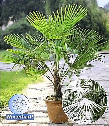 Winterharte Kübel-Palme 2er-Set, Chinesische Hanfpalme im Mein Schöner Garten Shop