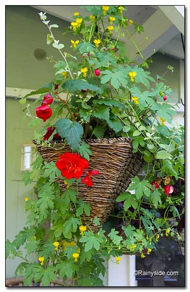 Canary Creeper (Tropaeolum peregrinum) in hanging basket Here w/ 2 Fuchsias (F. 'Swingtime' and F. 'Gartenmeister Bonstedt'), 1 Impatiens ('Sonic Series Burgundy'), two Begonias (B. 'Picotee' and B. 'Scarle't),& licorice plant (Helichrysum petiolare). But got too crowed in a hanging basket. Instead try alone stand back, and watch it cover its world with a wonderful, loose array of stems holding striking, deep-lobed leaves and tiny, bird-like flowers.