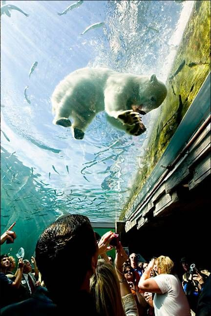 Underwater viewing area of polar bears in Polar Frontier at the Columbus Zoo and Aquarium!
