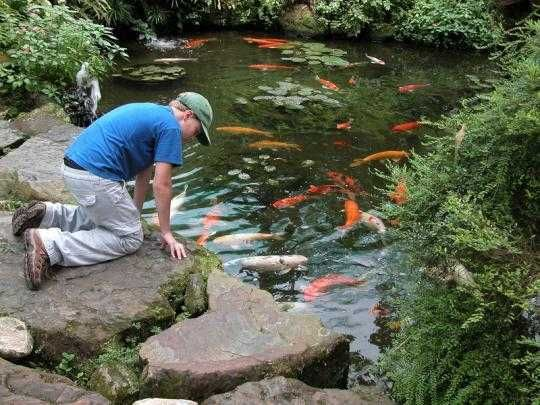 85 best images about ponds on pinterest patio backyard for Where to buy koi fish near me