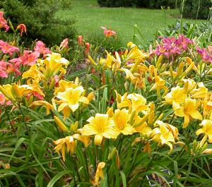 The care and feeding of Daylilies - Lexington Gardening | Examiner.