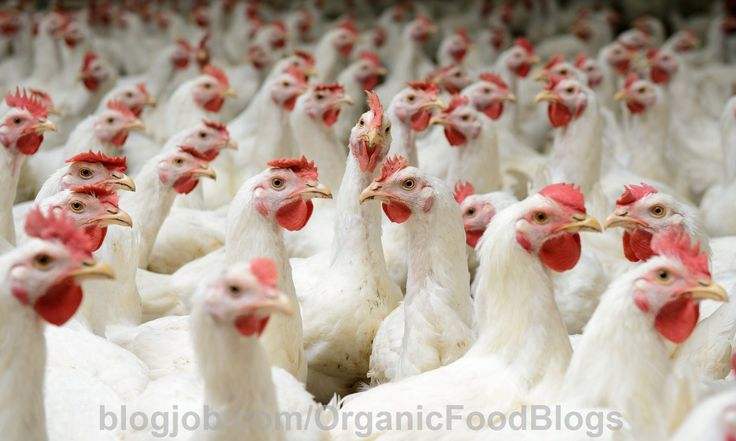 2 Major #Food Suppliers Adopt Widespread Animal Welfare Policies for Broiler Chickens https://blogjob.com/organicfoodblogs/2016/11/08/2-major-food-suppliers-adopt-widespread-animal-welfare-policies-for-broiler-chickens/