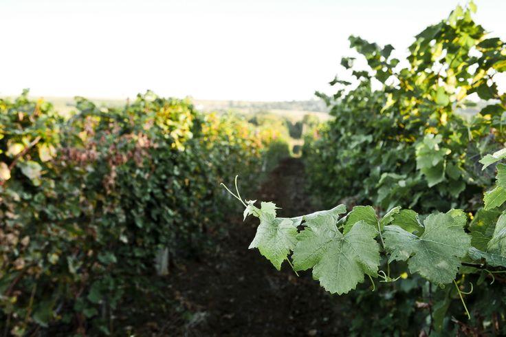 Виноградные лозы. Долина Лефкадия