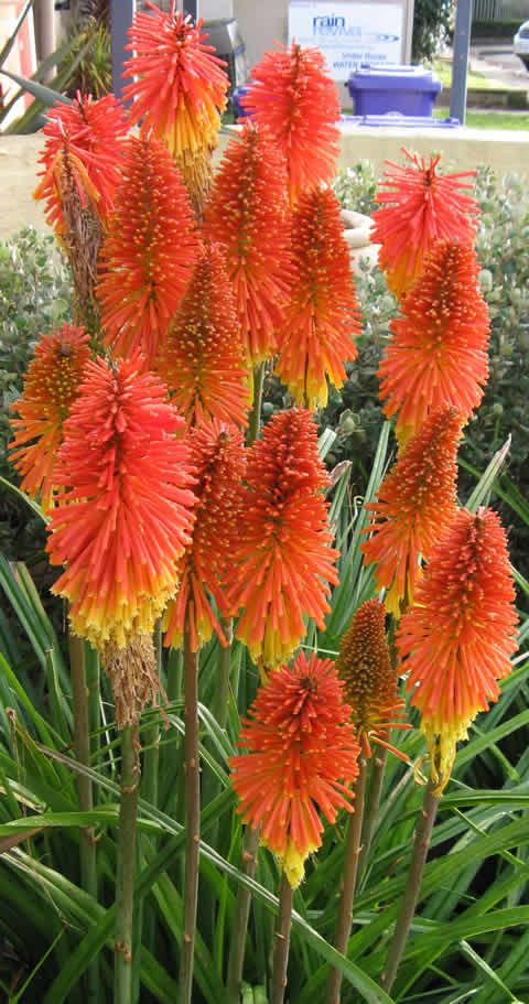 Red Hot Poker plant..