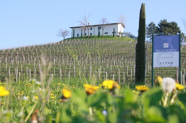 Livon's BraideAlte 'Vigneto' vineyard - Looking beautiful in the sunshine!