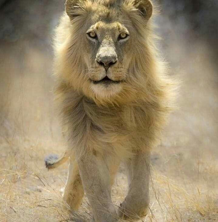 что картинка шагающих львов рассказы собственной