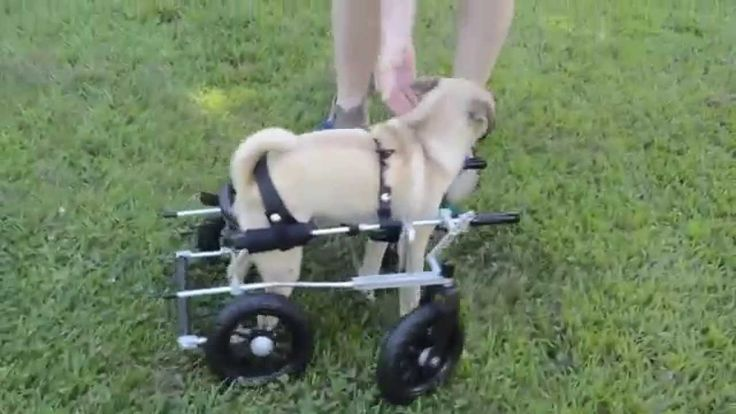 Puck tries out his new Quad, a four wheel dog wheelchair by Eddie's Wheels. Thank you Curly Tail Pug Rescue for all you do :)