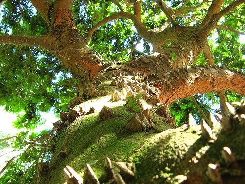 * Pau-Brasil * (Caesalpinia echinata).