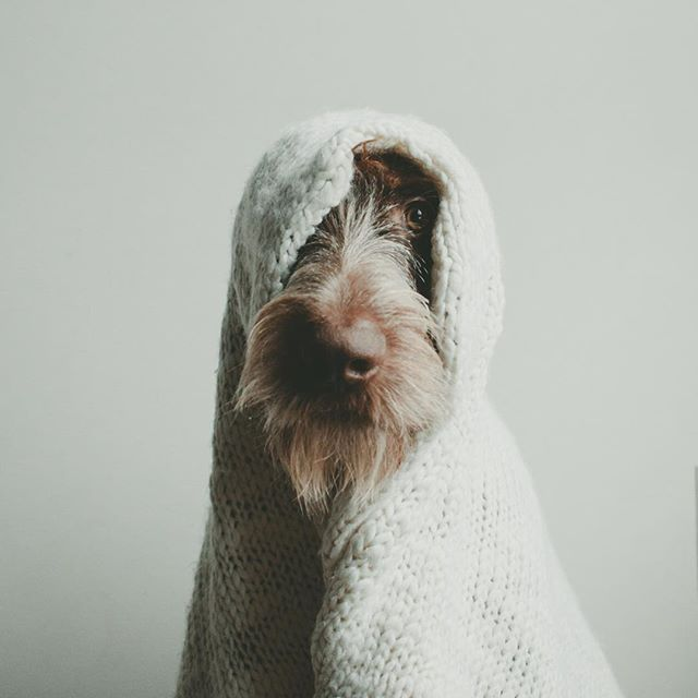 German Wirehaired Pointer. I feel like pulling a blanket over my head as well.