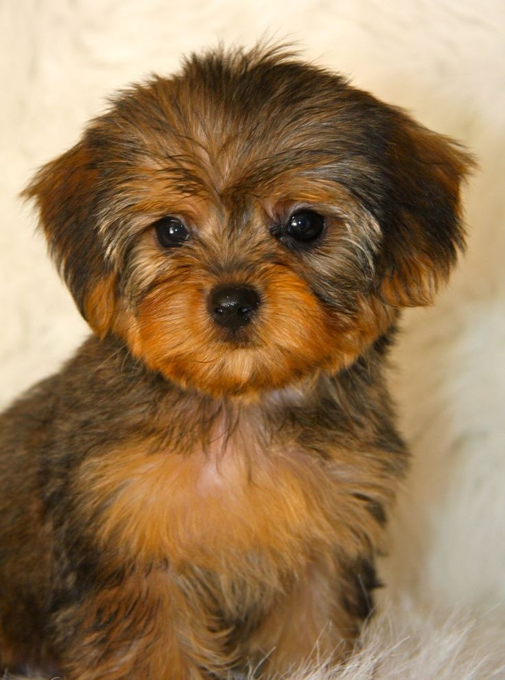 White Yorkie Poo Puppies Yorkie Poo Stuff to Buy