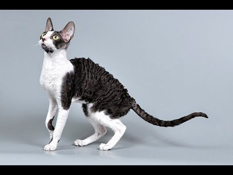 Кот Девон рекс, ч.1. Devon Rex Cat, р.1.  Amigurumi. Crochet.  Амигуруми...