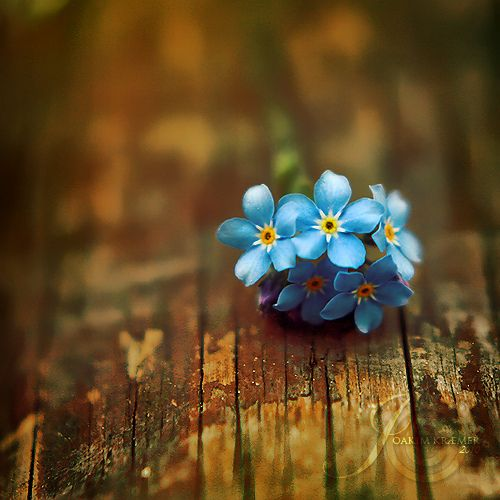 Little blue forget-me-nots on wood ... flowers ... by Joakimkr via flickr:
