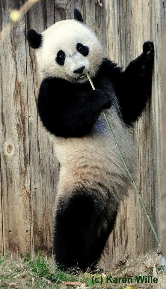 Tai Shan's Very Important Panda