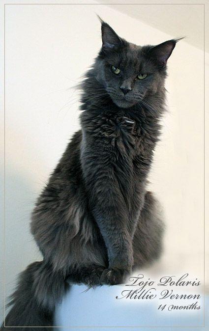 Maine Coon Katze, Kater vom Newanhof - Mainecoon Hobby Zucht Oberösterreich, 4501 Neuhofen - Mainecoon Austria