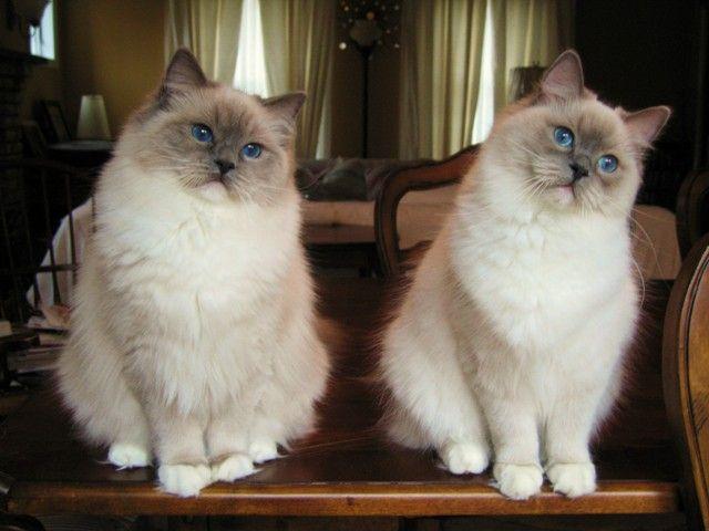 Ragdoll Cats Ragdoll Sweeties Pinterest