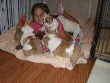 Bulldog puppies for adoption (Canada)