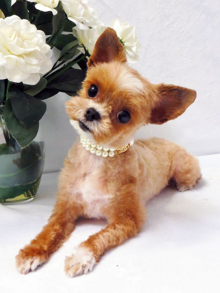 21 Best Images About Asian Fusion Hair Cuts For Dogs On