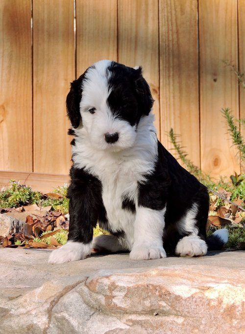 Sheepadoodle Puppies Characteristics Pictures