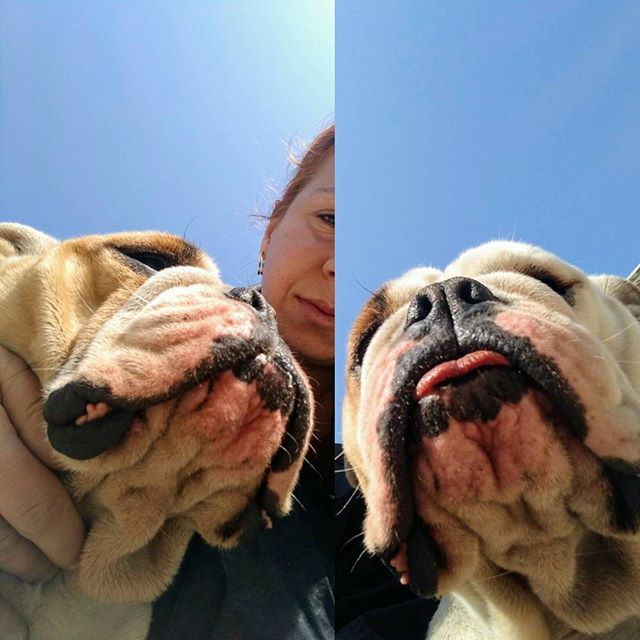Mavi gökyüzü altında 🌞 #bulldog #evcilsokakbulldogs #happybulldog #bulldoglove #bulldog #bulldogsofinstagram #dog #bursa #englishbulldog #ingilizbulldog #güneş #turkey #köpek