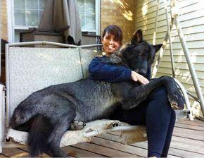 Iedereen die een hond heeft weet dat hondenhet heerlijk vinden om met je te knuffelen, naast je te liggen of op je schoot te springen. Als pup geeft dit helemaal geen problemen, maar sommige pups worden groot… En niet gewoon groot, maar HEEL groot. En dan kan dat knuffelen soms net even iets lastiger gaan dan vroeger. De honden in de elf foto's hieronder zijn even vergeten dat ze geen pup meer zijn… hahah Geniet van de foto's en vergeet ze na afloop niet te delen met alle hondenliefhebbers…