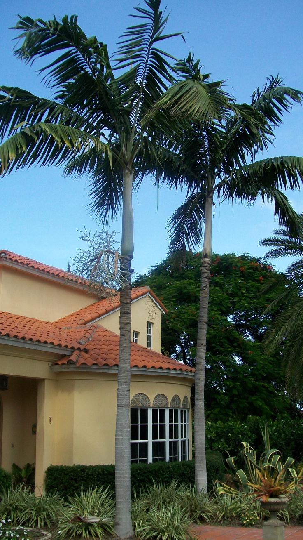 Veitchia Montgomeryana Or Montgomery Palm Is A Beautiful