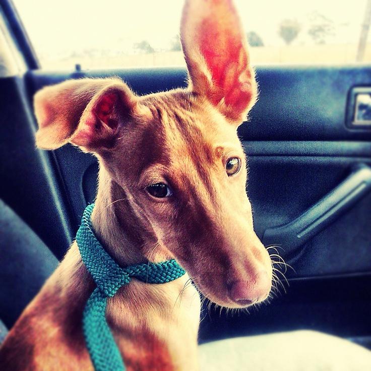 Egyptian Pharaoh Hound (Kelb tal-Fenek / Klieb tal-Fenek) Puppy Dogs