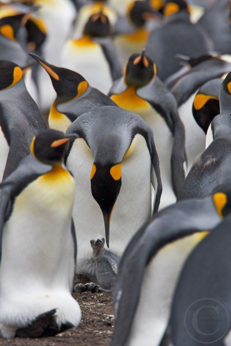 best 25 penguin bird ideas on pinterest penguins penguin
