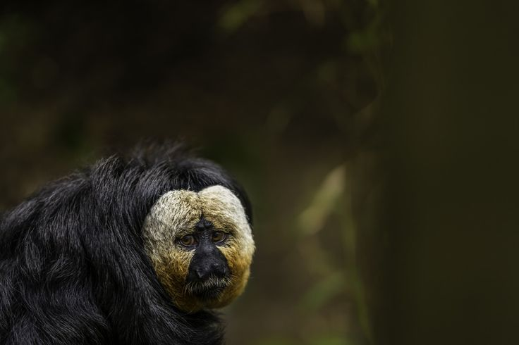 Sad Monkey - Apenheul