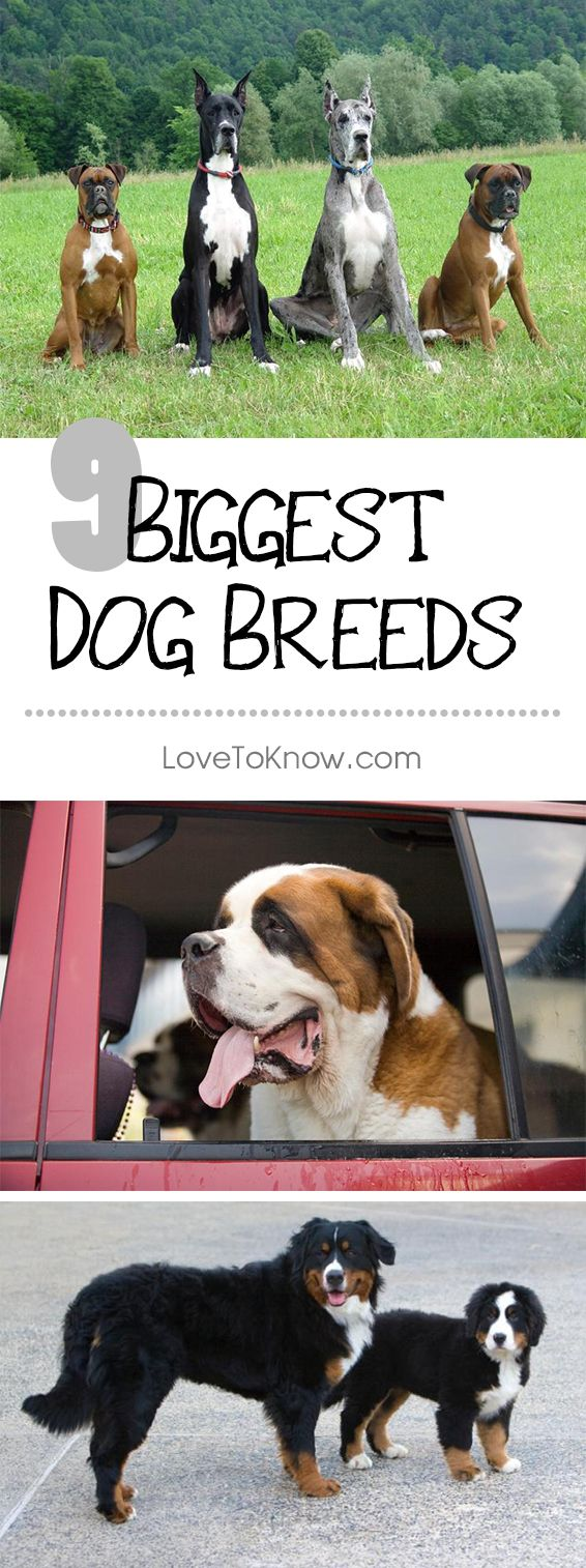 While various dogs have been proclaimed the world's biggest dog over the years, the Guinness Book of World Records does not maintain a category for this title. However, several breeds of dogs are widely recognized as being some of the largest canines of all. Take a look at these contenders and find out just how big they are.