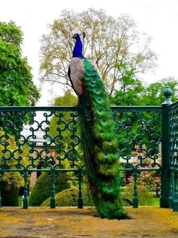 peacock. best photo showing how long the tail can be!!! and he looks so fab just perched on the beautiful iron railing!!