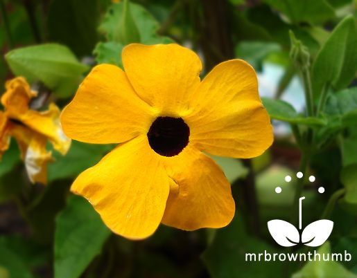 how to grow black eyed susan vine from seed