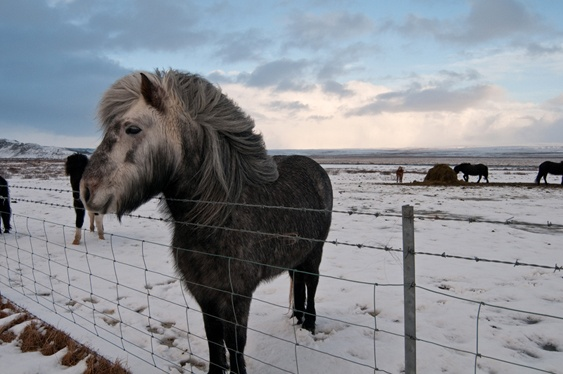 Iceland, horses in winter.
