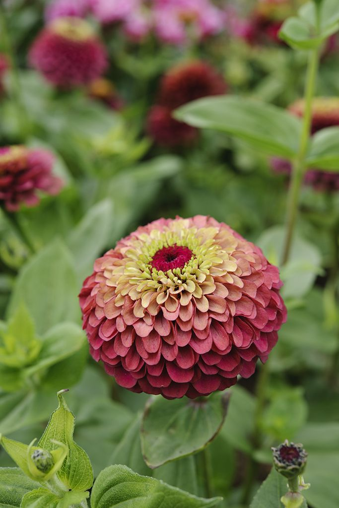 Zinnias elegans 'Queen Red Lime'. A lovely zinnia with unusual red flowers with lime tips to each petal edge. Photo by Jason Ingram.