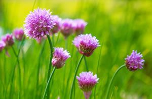 Schnittlauch entwickelt violette, kugelige Blüten