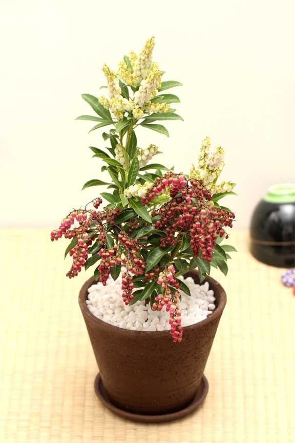 紅白 馬酔木 アセビ Andromeda Japonica 盆栽
