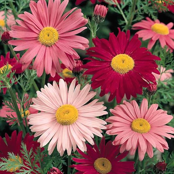 115 best images about painted daisy on Pinterest | Pink ...