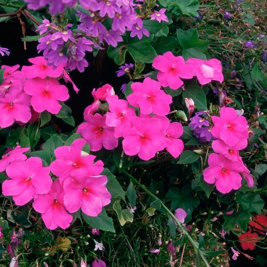 Hanging Basket Flowers 10 Of The Best Buys Garden Pinterest