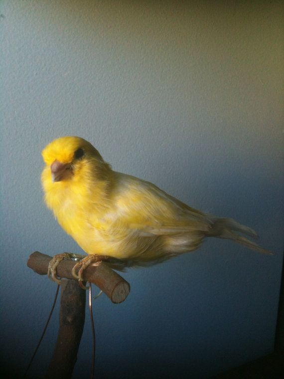 how to look after canary bird