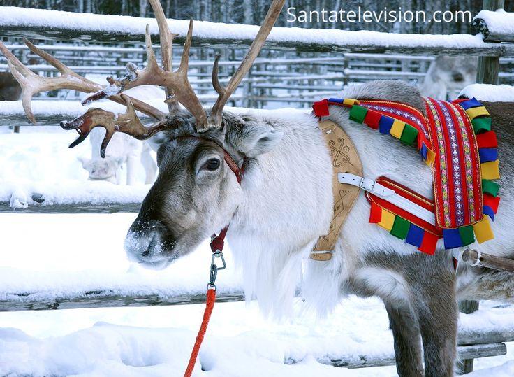 Uma bela rena macho na Lapônia Finlandesa