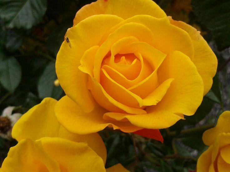 Mine flotte gule roser