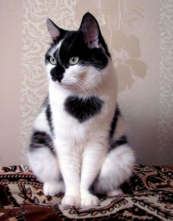 cute cat wears a heart on his chest!!