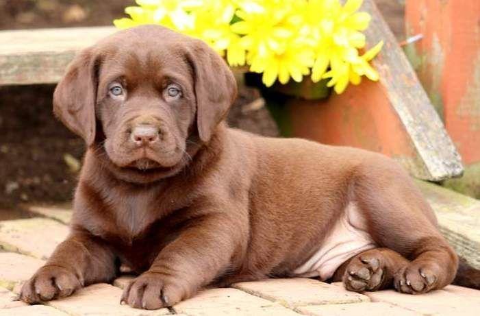 Labrador Retriever Puppy For Sale In Mount Joy Pa Adn 71974 On Puppyfinder Com Gender Male Age 7 We Labrador Retriever Labrador Retriever Puppies Labrador