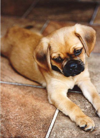Pugalier ... mix between a Pug & Cavalier King Charles Spaniel ... adorable!