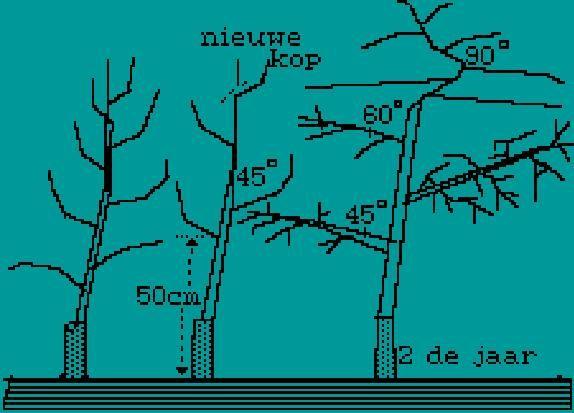 Afbeeldingsresultaat voor kersenboom snoeien