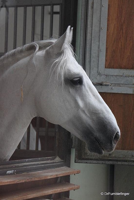 Vienna -- Lipizzaner Stallion. My childhood dream horse...