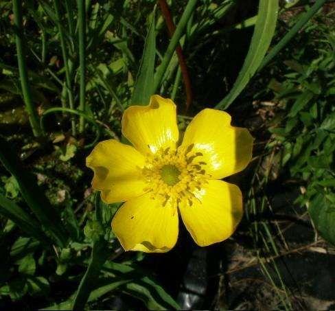 Rananculus lingua ( jaskier wielki) - Rośliny wodne, Lilie wodne   Sklep