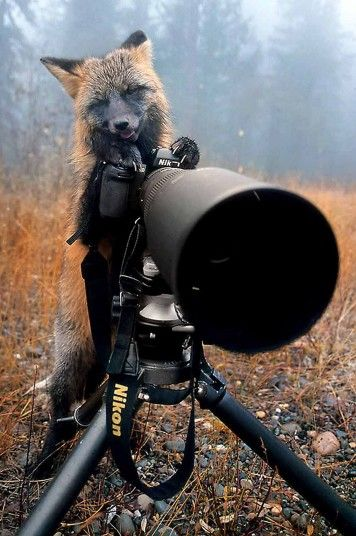 Ready for your close up? A fox turns the tables on photographer Michaela Walch after she left her equipment unattended on a camp site in northern Canada.