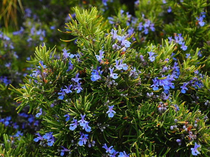 Low-maintenance is the name of the game for this savory evergreen favorite. These herbs need little to no care and flourish despite drought, heat, wind, and salt spray. Trailing varieties are especially pretty when arranged in window boxes or cascading down a rock wall. Rosemary is delicious fresh or dried for use in lamb, poultry, or vegetable dishes.