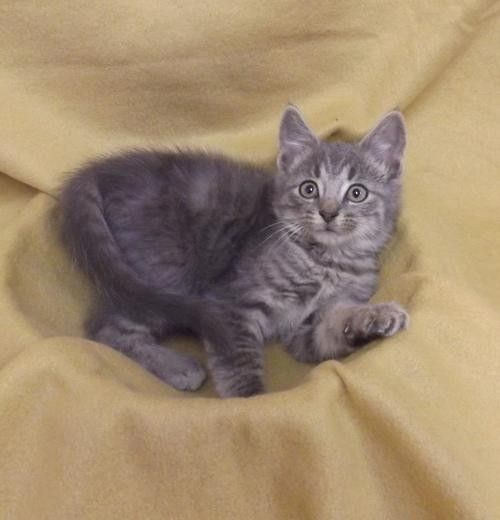 Adopt Grey Tabby Kitten a Gray or Blue Domestic Shorthair / Mixed (short coat) | Blue, Grey Male Tabby Kitten For Sale in Martinsburg WV | 4048236855 | Cats on Oodle Marketplace
